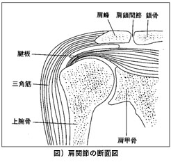 図)肩関節の断面図